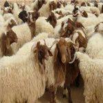 أسعار لحوم عيد الأضحى بمنافذ وزارة الزراعة